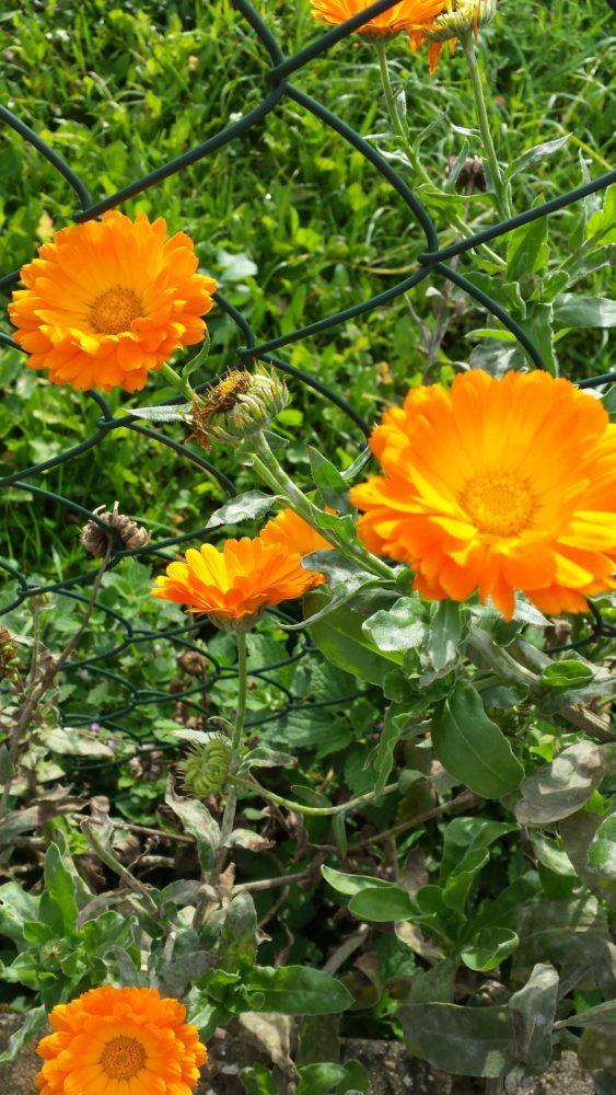 Die strahlen mit der Sonne um die Wette: orangene Ringelblumen