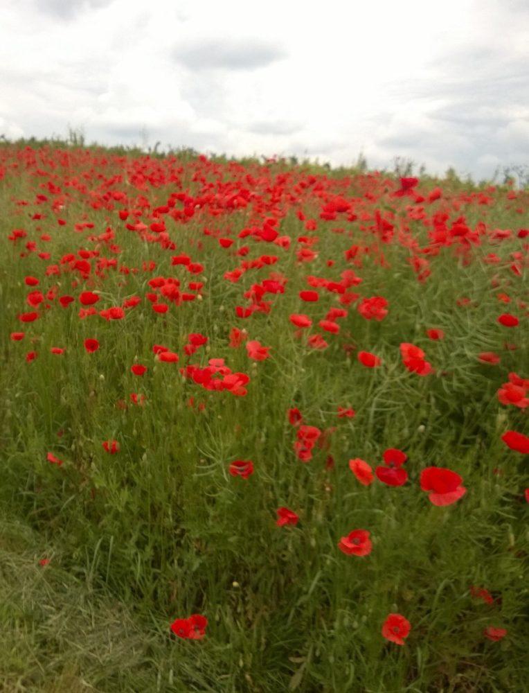 Rote Pracht: ein Mohnblumenfeld. Dieses habe ich bei meiner letzten Radtour gesehen (Selztal-Radweg bei Stadecken-Elsheim)