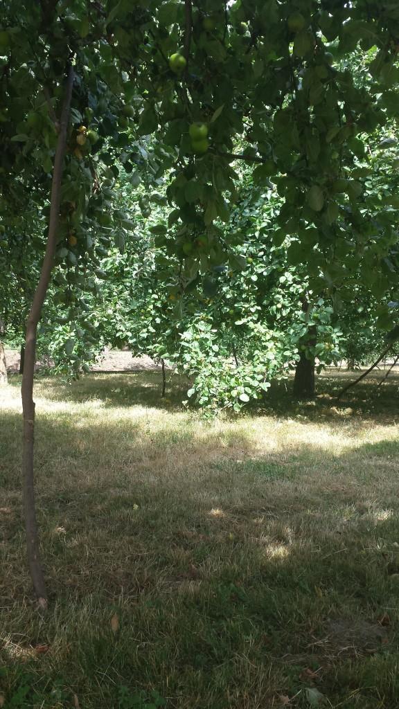Die hiesigen Apfelbäume werden von der Streuobstinitiative Hamm gepflegt und jeden Herbst wird Apfelsaft aus den geernteten Früchten hergestellt