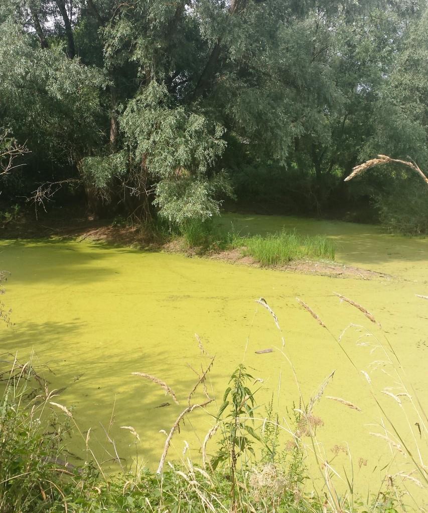 Bedeckt von Wasserlinsen und Paradies für zahlreiche Amphibien: der Scheidegraben