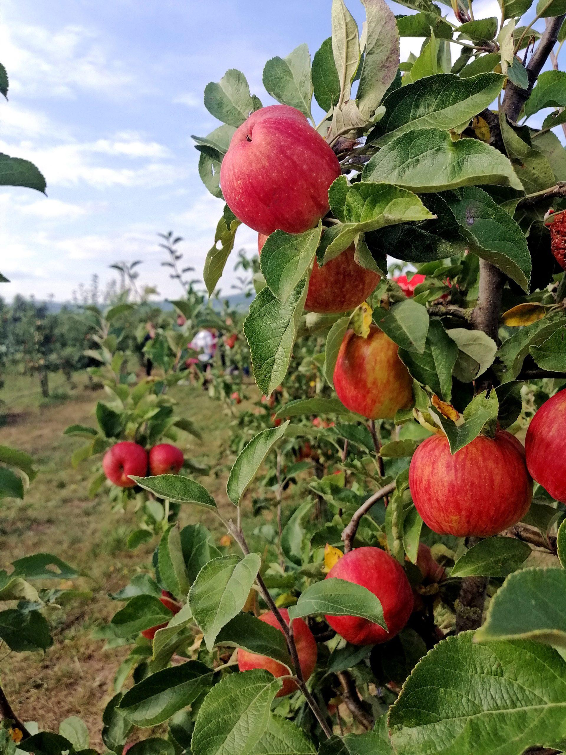 Rheinhessen genießen Obsthof Dein Ingelbaum